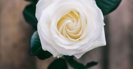 lone rose-1900×2533