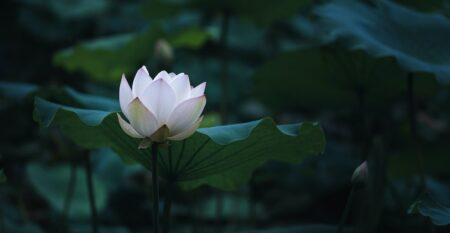 light lotus among darkness