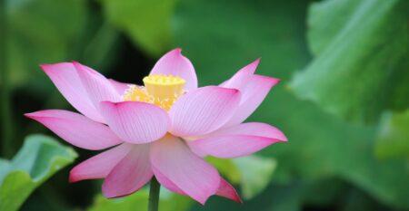 lotus green backdrop
